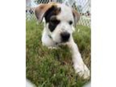 Adopt Bishop a Great Pyrenees, Cattle Dog