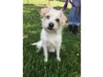 Adopt Prue a White - with Tan, Yellow or Fawn Shih Tzu / Jack Russell Terrier /