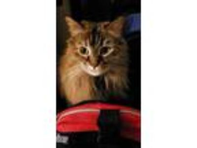 Adopt Melissa a Orange or Red Maine Coon cat in Great Neck, NY (25851136)