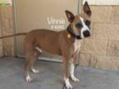 Adopt Vinnie a Red/Golden/Orange/Chestnut Boxer / American Pit Bull Terrier dog