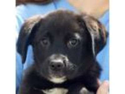 Adopt Renee a Black - with White Labrador Retriever / Rottweiler / Mixed dog in