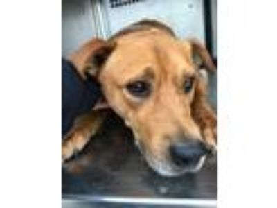 Adopt ADOPTED a Red/Golden/Orange/Chestnut Labrador Retriever / Mixed dog in