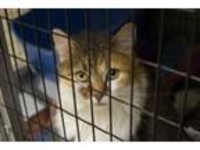Adopt Callie a Brown or Chocolate Domestic Longhair / Domestic Shorthair / Mixed
