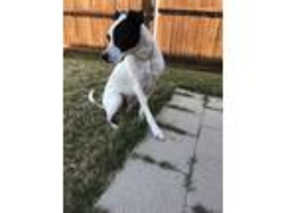 Adopt Mister Cookie a White - with Black Boxer / Dalmatian / Mixed dog in Little