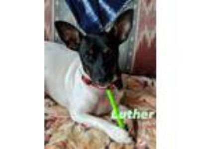 Adopt Luther * sweet, cuddly, funny * a Rat Terrier
