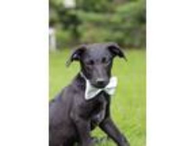 Adopt Doc a Miniature Pinscher, Labrador Retriever