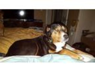 Adopt Bailey a Black - with Tan, Yellow or Fawn Basset Hound / Mixed dog in San
