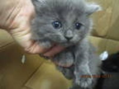 Adopt IMELDA a Gray or Blue Domestic Shorthair / Mixed (short coat) cat in