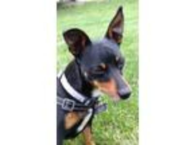 Adopt Dash a Black - with Tan, Yellow or Fawn Miniature Pinscher / Mixed dog in