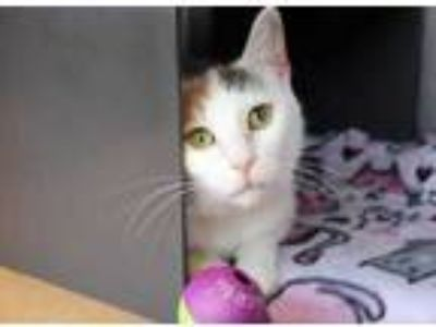 Adopt Bunny a White Domestic Shorthair / Domestic Shorthair / Mixed cat in