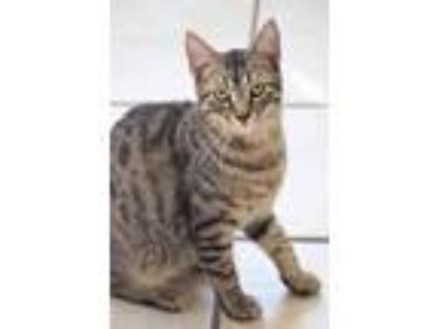 Adopt Lock a Brown Tabby Domestic Shorthair (short coat) cat in Chippewa Falls