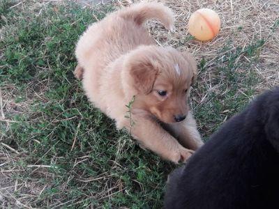 English Shepherd PUPPY FOR SALE ADN-89986 - Registered English Shepherd Puppies