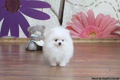 Gorgeous Toy Pomeranian Puppies!