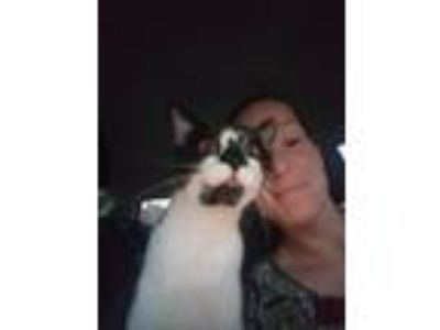 Adopt Sylvester a Black & White or Tuxedo American Shorthair / Mixed cat in