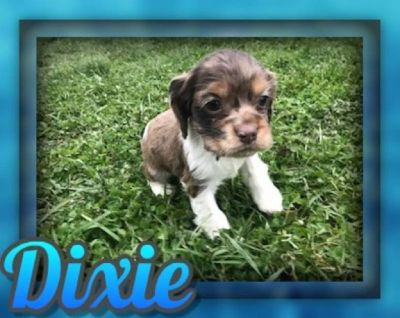 Dixie Female Cocker Spaniel ACA