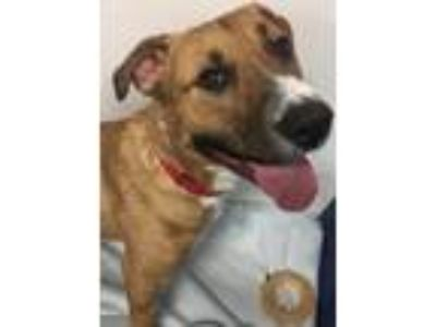 Adopt NOOJII a Tan/Yellow/Fawn - with White Pit Bull Terrier / Mixed dog in