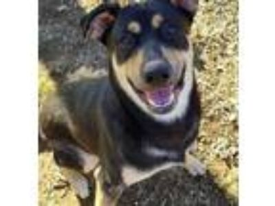Adopt Bruno a Black - with Tan, Yellow or Fawn German Shepherd Dog / Rottweiler