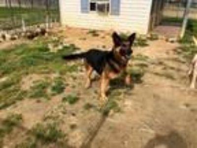Adopt Rebel a German Shepherd Dog
