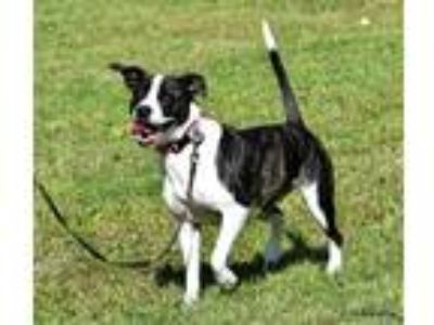 Adopt Belle a Black - with White Terrier (Unknown Type, Medium) / Mixed dog in