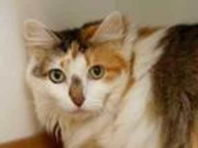 Adopt Zora a White Domestic Longhair / Domestic Shorthair / Mixed cat in