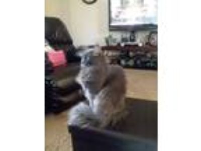 Adopt Piper a Gray or Blue Domestic Longhair / Mixed cat in Ellijay