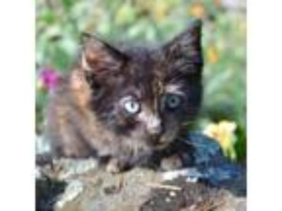Adopt Lil a Tortoiseshell Domestic Shorthair / Mixed cat in Oakland