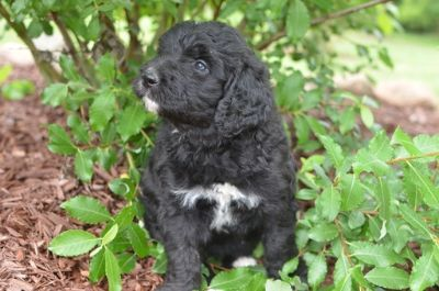 Bernedoodle PUPPY FOR SALE ADN-80583 - Bernedoodle Puppies