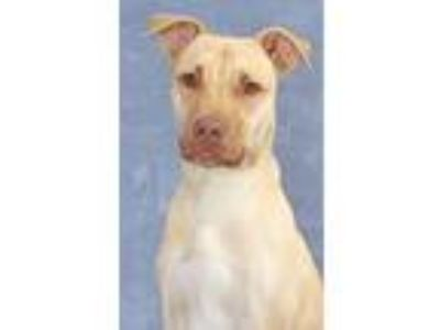 Adopt Fred a White - with Tan, Yellow or Fawn Labrador Retriever / American Pit