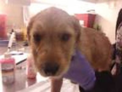 Adopt a Tan/Yellow/Fawn Airedale Terrier / Schnauzer (Standard) / Mixed dog in