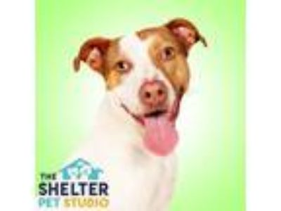 Adopt Lacey 149857 a Pit Bull Terrier, Pointer
