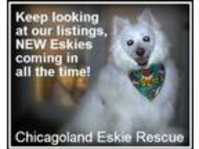 Adopt Eskies Coming in! a American Eskimo Dog