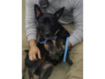 Adopt OSA a Australian Cattle Dog / Blue Heeler