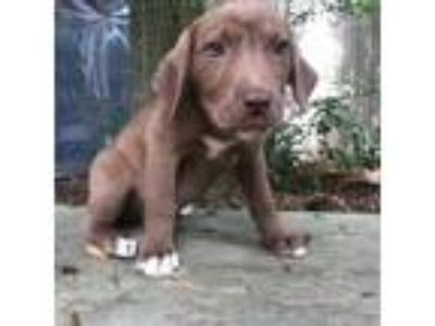 Adopt Puppy 2 a Brown/Chocolate Labrador Retriever / Mixed Breed (Medium) dog in