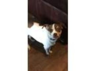 Adopt Zoey a White Rat Terrier / Mixed dog in Justin, TX (25228030)