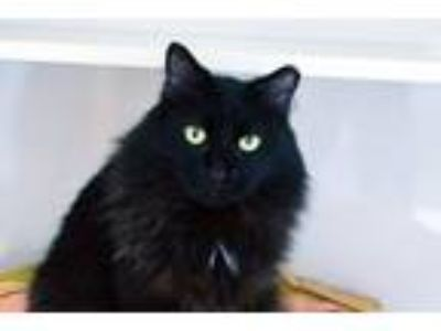 Adopt Alistair a All Black Domestic Mediumhair (medium coat) cat in Lincoln