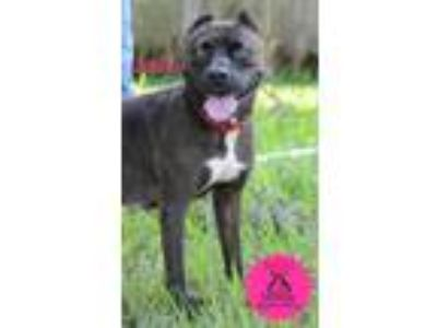 Adopt Jo Jo a Brindle Pit Bull Terrier / Mixed dog in Bradenton, FL (20216144)