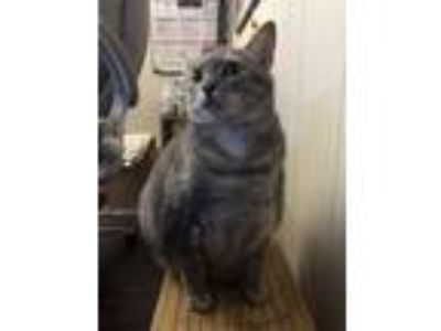 Adopt Luna Jean a Calico or Dilute Calico Domestic Shorthair / Mixed cat in
