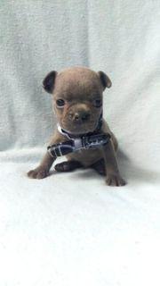 French Bulldog PUPPY FOR SALE ADN-75135 - AKC Blue        BLU