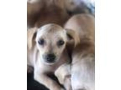 Adopt Artemisia a Tan/Yellow/Fawn Terrier (Unknown Type, Small) / Mixed dog in