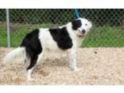 Adopt Minnie a Border Collie, Labrador Retriever
