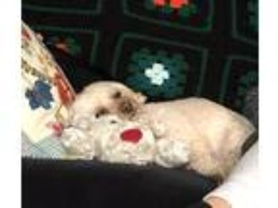 Adopt Sasha a White - with Brown or Chocolate Poodle (Standard) / Lhasa Apso /