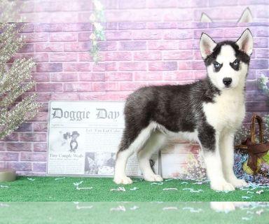 Siberian Husky PUPPY FOR SALE ADN-128121 - Jett Good Looking Male Husky Puppy