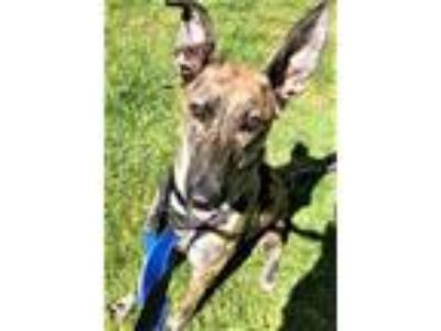 Adopt Sage, active & affectionate companion! (Woodinville) a Greyhound, Shepherd