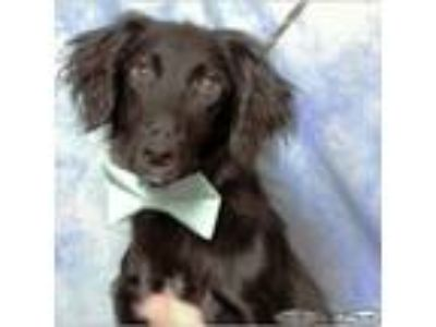 Adopt Hector a Border Collie, Flat-Coated Retriever