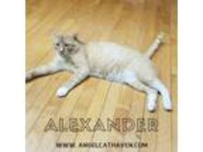 Adopt Alexander a Orange or Red Tabby Domestic Shorthair (short coat) cat in