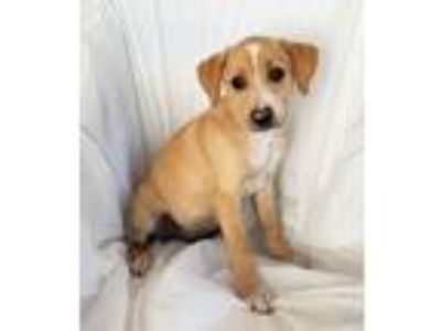 Adopt Finn a Tan/Yellow/Fawn - with White Labrador Retriever / Mixed dog in