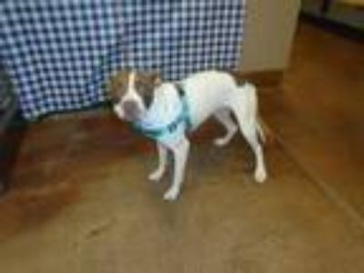 Adopt Dog a Pit Bull Terrier, Mixed Breed