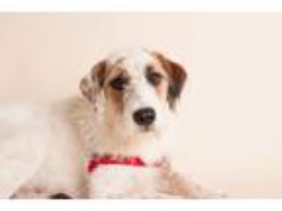 Adopt Murphy a Wirehaired Terrier