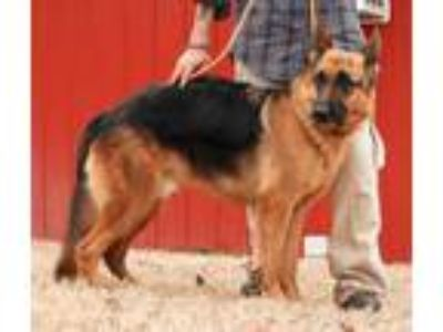 Adopt Esko a Black - with Tan, Yellow or Fawn German Shepherd Dog / Mixed dog in
