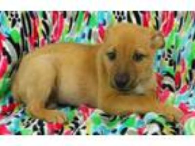Adopt Omar a Tan/Yellow/Fawn Labrador Retriever / Husky / Mixed dog in Morton